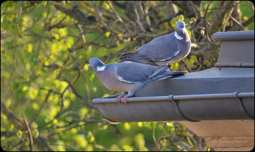 Rambouillet : Pigeon ramier ou palombe