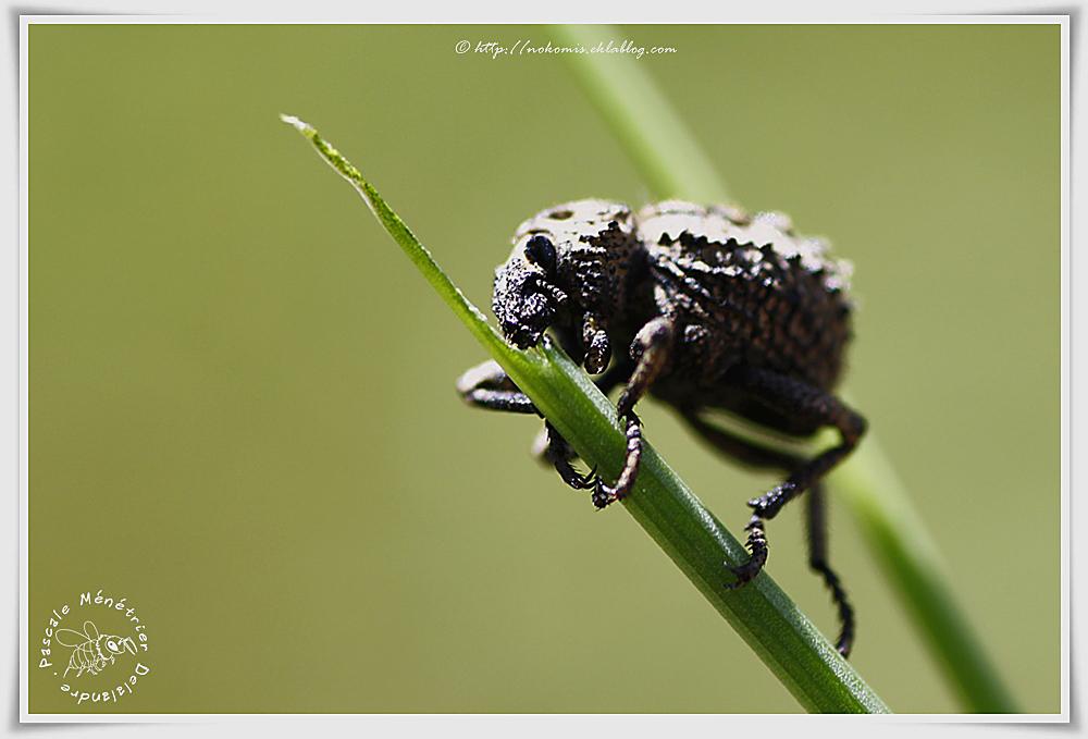 Charançon - Brachycerus (Curculionoidea)