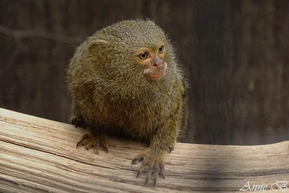 Ouististi pygmée