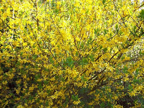 forsythia le 6 avril 2011