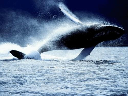 baleine-bleue.gif