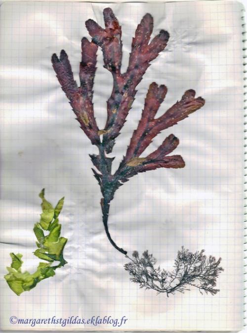 Algues préfaillaises - Seaweed of Préfailles