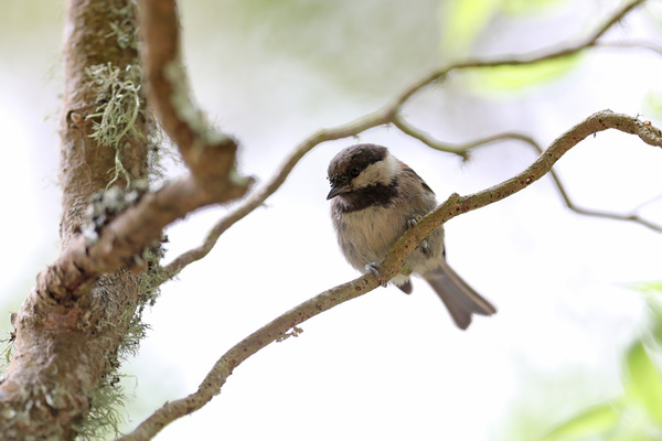 Chestnut-backed chickadee - Lily Pond