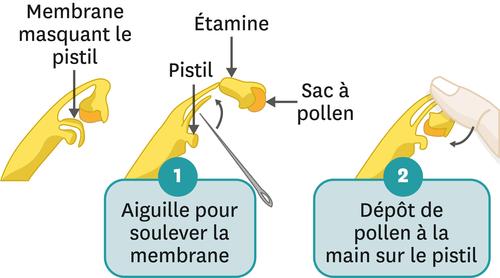 La pollinisation manuelle de la vanille.