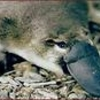 ornithorynque 3