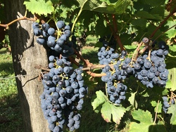 BREVES DE VENDANGES : ACTE I SCENE I ...