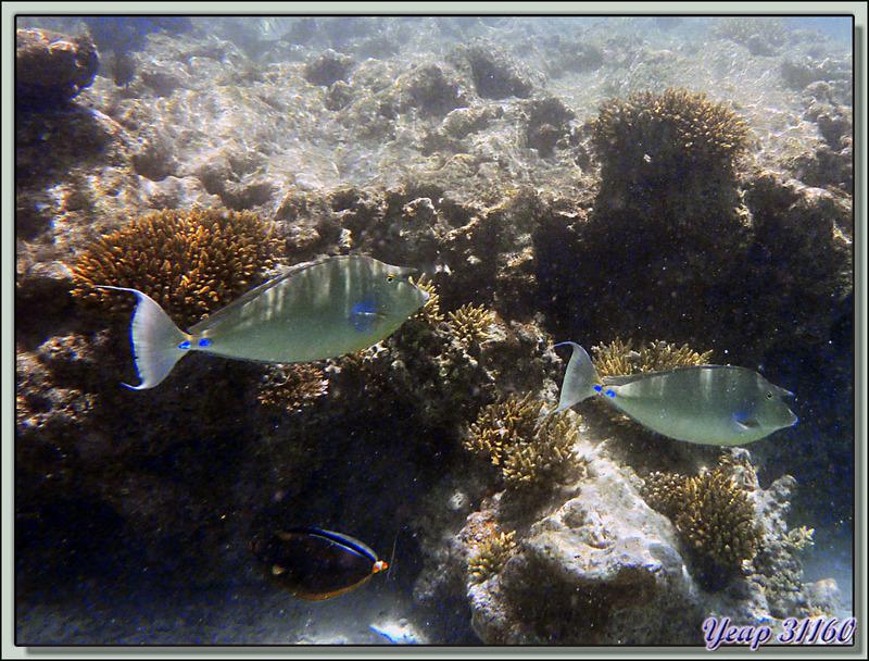 Snorkeling dans le lagon de la pension Raira Lagon : Poisson-licorne ou Nason à éperons bleus (Naso unicornis) - Rangiroa - Polynésie française