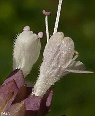 Origanum vulgare - origan - marjolaine sauvage