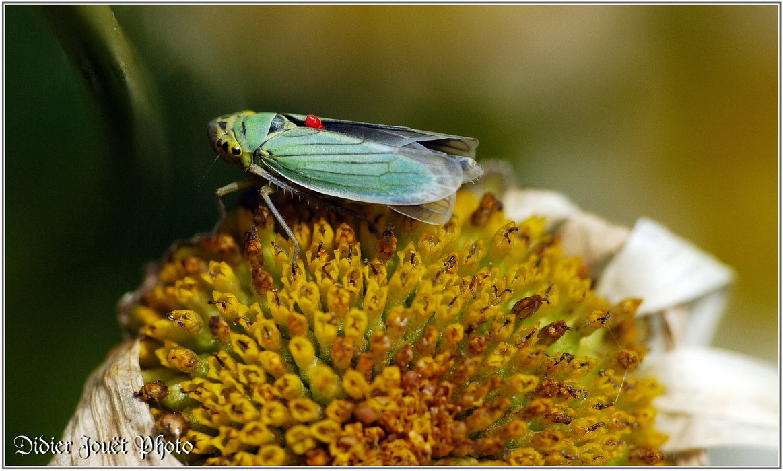 Cicadelle Verte / Cicadella viridis