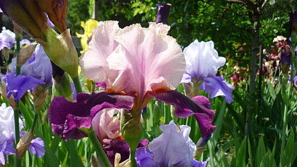 Iris-de-mai-060.JPG