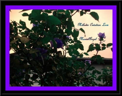 copirythe-roses-roses-enc-mauve.JPG