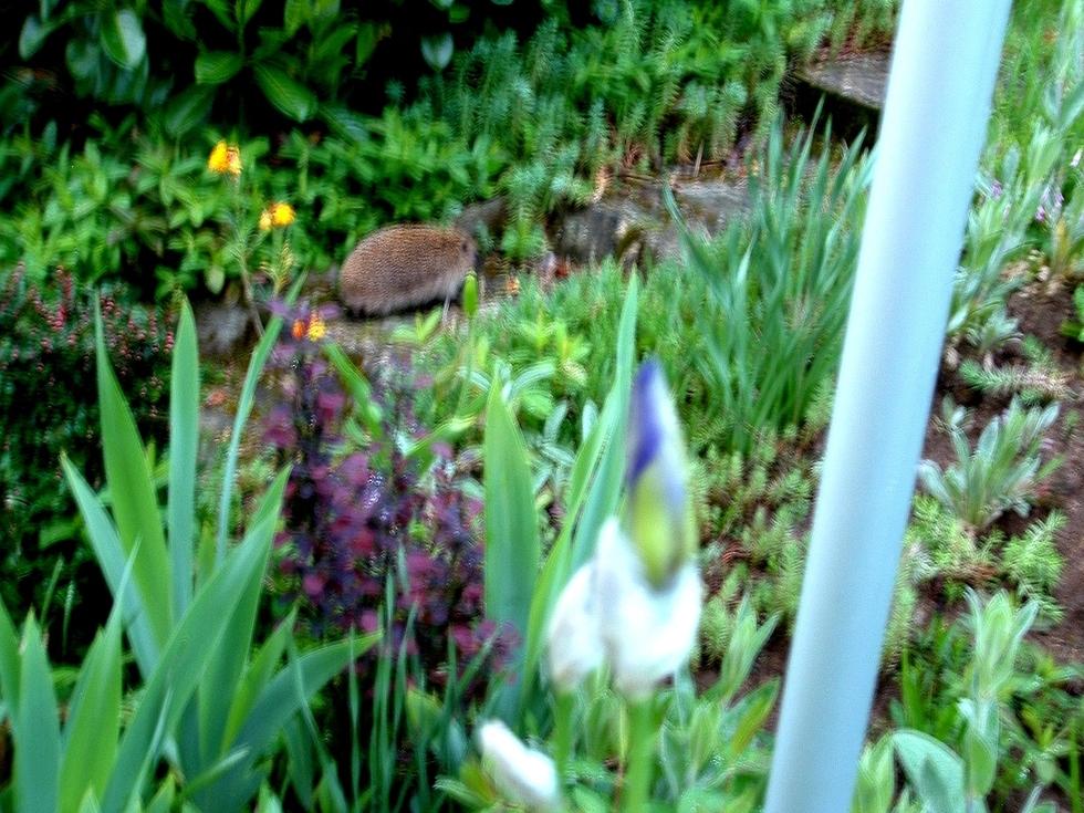 L'ami du jardin est de retour; mon compère le Hérisson