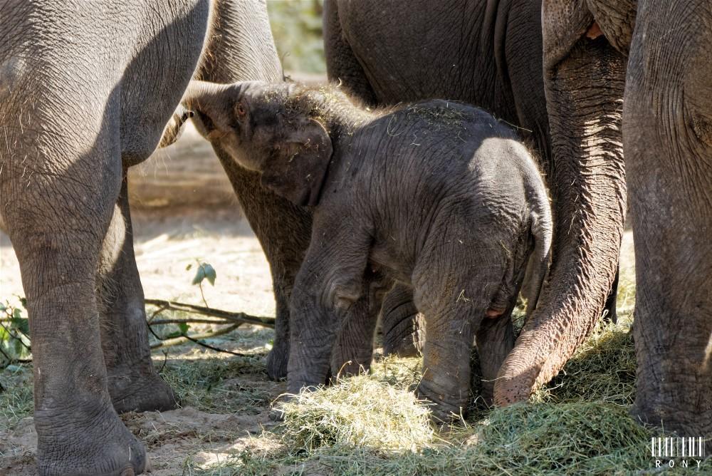 Mes premières photo d'un bébé éléphanteau de 2 jours né a Pairi Daiza. Part.2