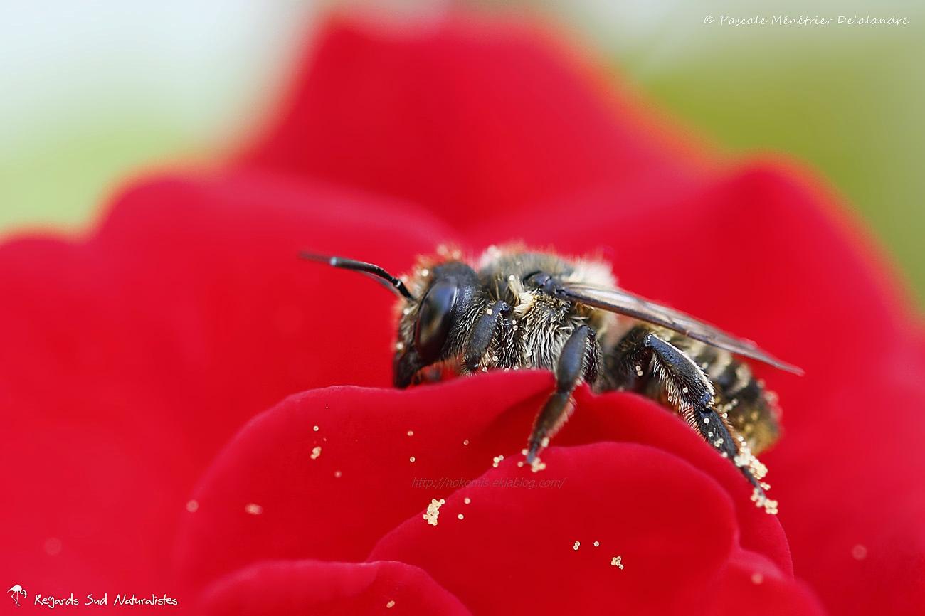 Mégachile ♀ - Abeille solitaire