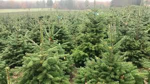 Le recyclage des sapins de Noël...