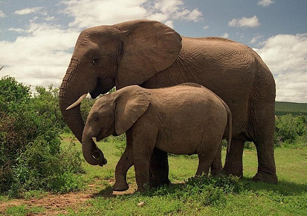 800px-Addo_Elephant_National_Park.jpg