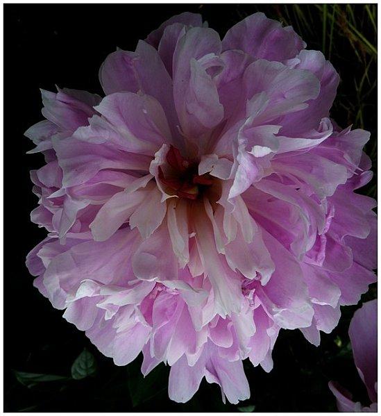 pivoine-rosee1.jpg