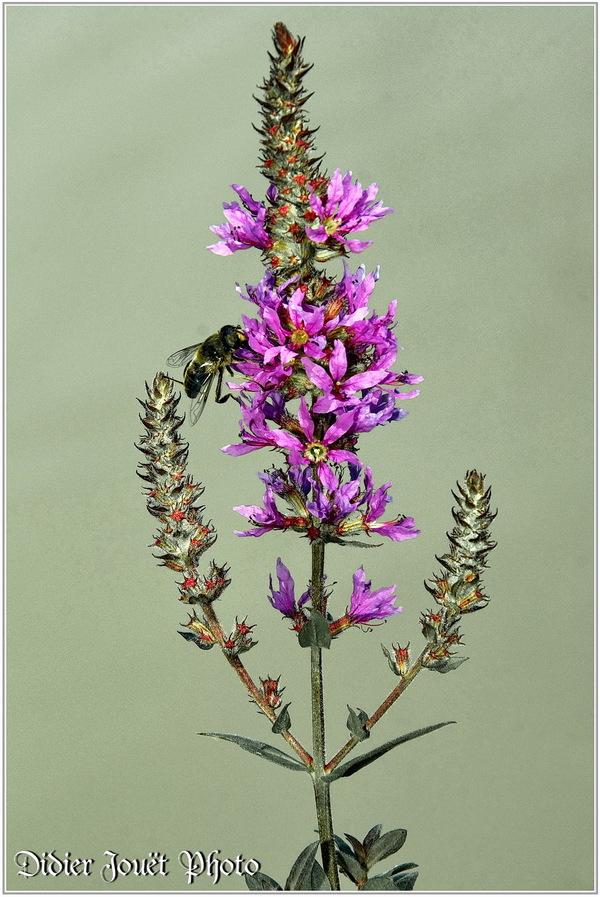 Salicaire Commune / Lythrum salicaria