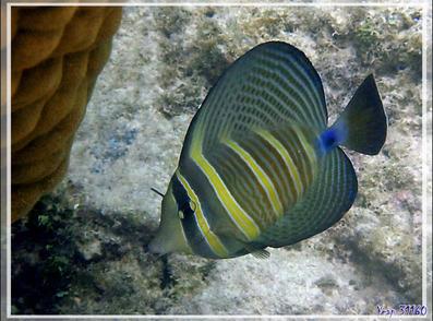 Poisson chirurgien voilier, Sailfin tang (Zebrasoma velifer) - Pearl Havaiki - Atoll de Fakarava - Tuamotu - Polynésie française