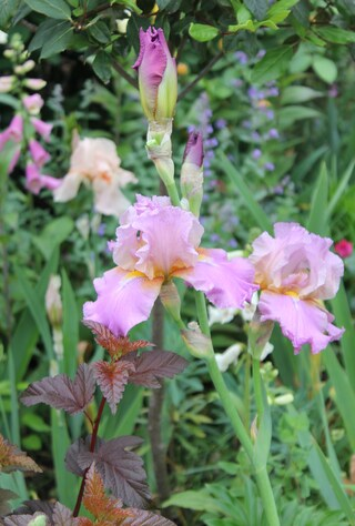 Iris barbu rose mauve 'Laurie'