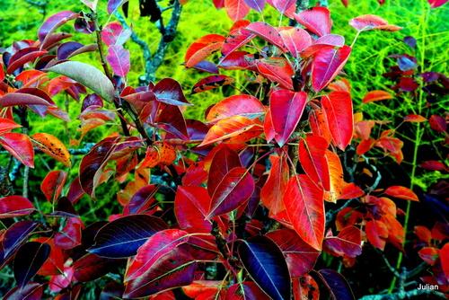 Poirier : feuilles en automne