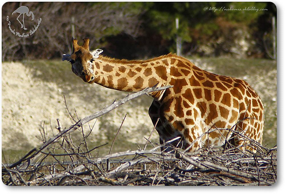 Girafe du Niger (Giraffa camelopardalis peralta)