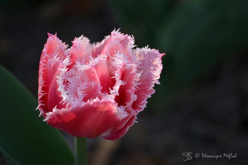 """Parc Floral de Paris : tulipe frangee """"Queens land"""" rose et blanc"""