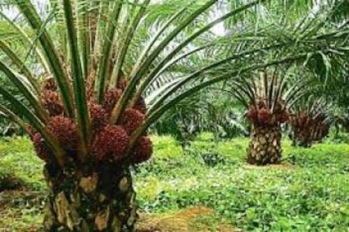 L'huile de palme et la santé