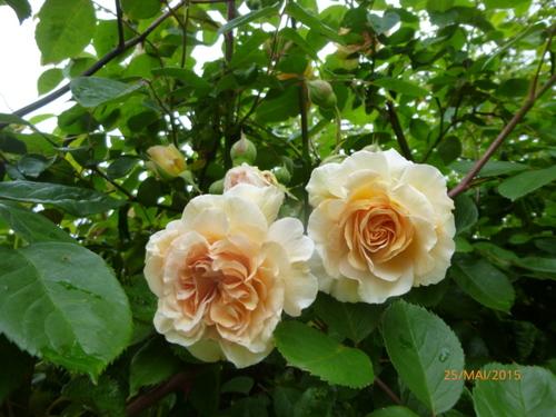 Le temps des roses 1