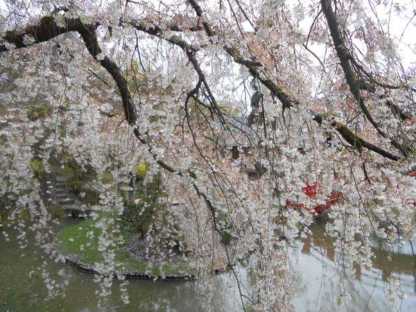 Les cerisiers Japonais