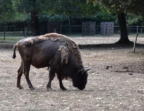 ... même ce pauvre bison futé...