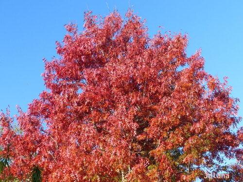 arbre roux