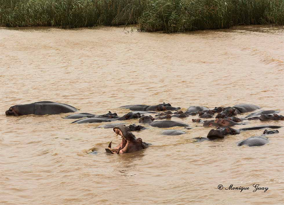 Hippopotame gueule ouverte et dent seule