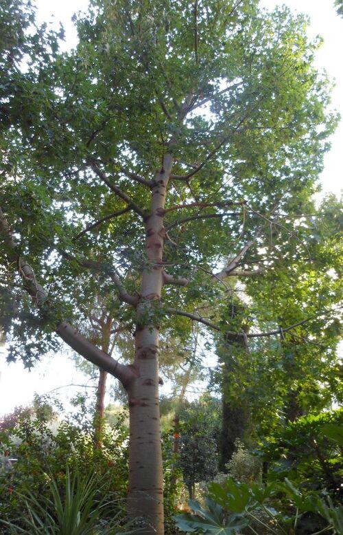 Gestation d'un bonsaï