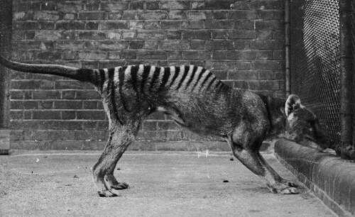 Des tigres de Tasmanie ont peut-être été retrouvés