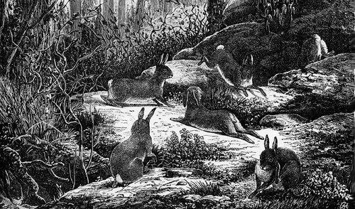 08 - Des lapins - dessins et gravures
