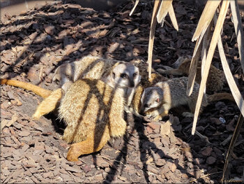 Photo de suricates (Zoo du bassin d'Arcachon)