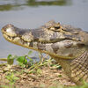 Tête de jacara à Piuval - Pantanal (Brésil)