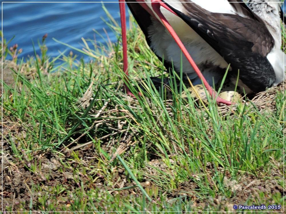 Printemps 2015 à la réserve ornitho du Teich - 5/13