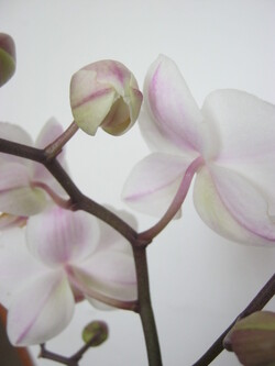 Mon orchidée.....1ère semaine...