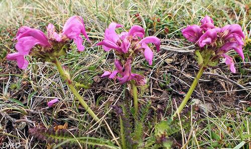 Pedicularis pyrenaica  -  pédiculaire des Pyrénées
