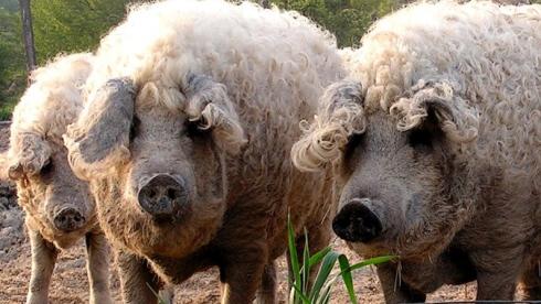 Porc mouton