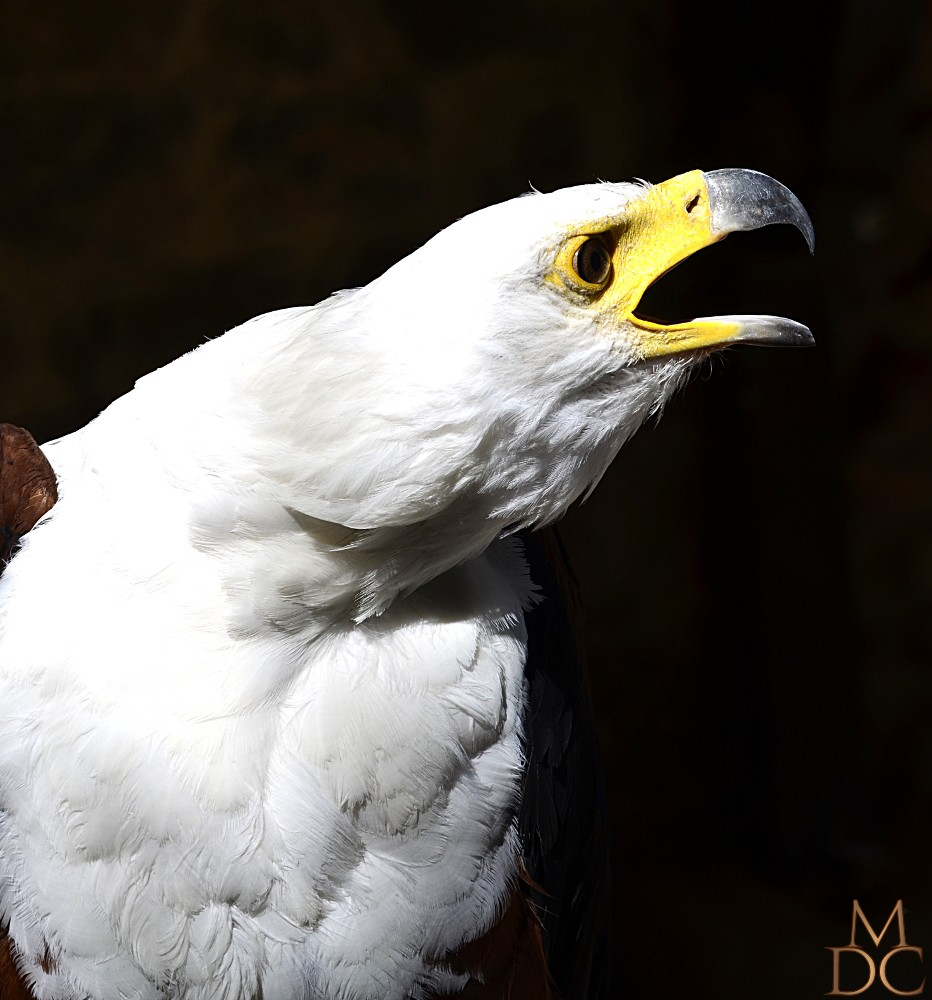 Aigle Pygargue vocifère