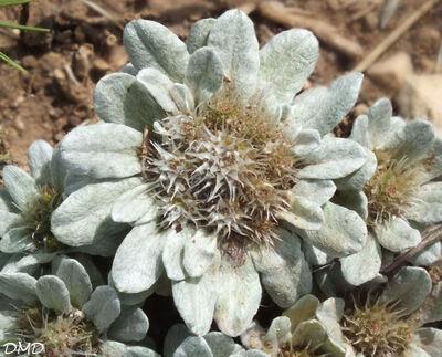 Filago pygmaea = Evax pygmaea  -  evax nain