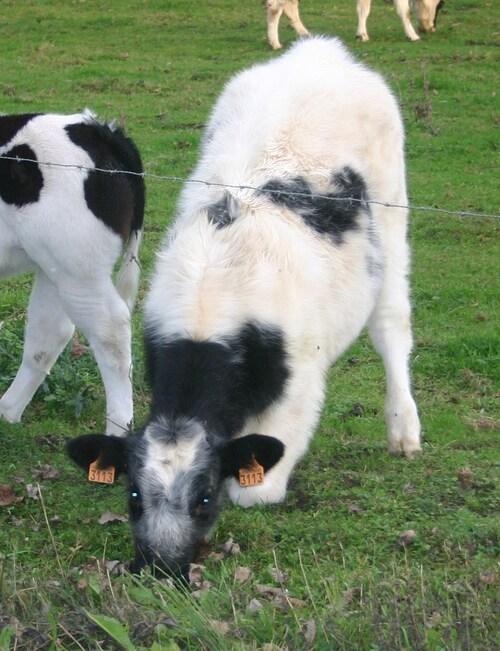 Ne pas donner tort aux vaches