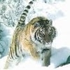 tigre 10