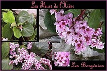 Les-fleurs-de-l-Hiver---les-berg-nias.jpg