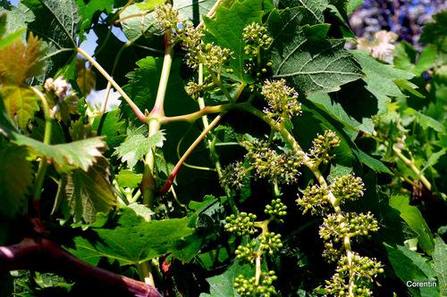 La vigne fleurit ...