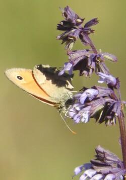 papillons dans les cvennes