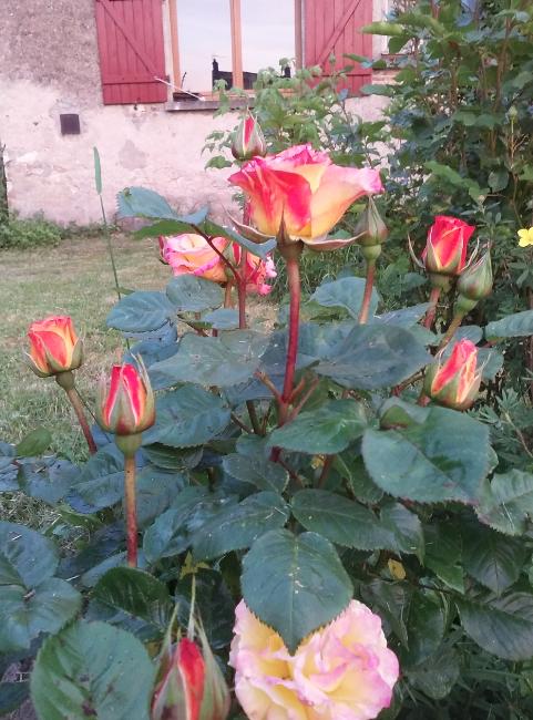 Le temps des roses est revenu ! /Rose time came back